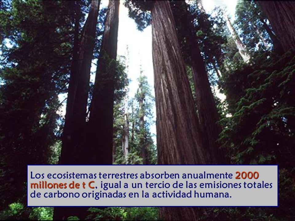 Los ecosistemas terrestres absorben anualmente 2000 millones de t C, igual a un tercio de las emisiones totales de carbono originadas en la actividad humana.