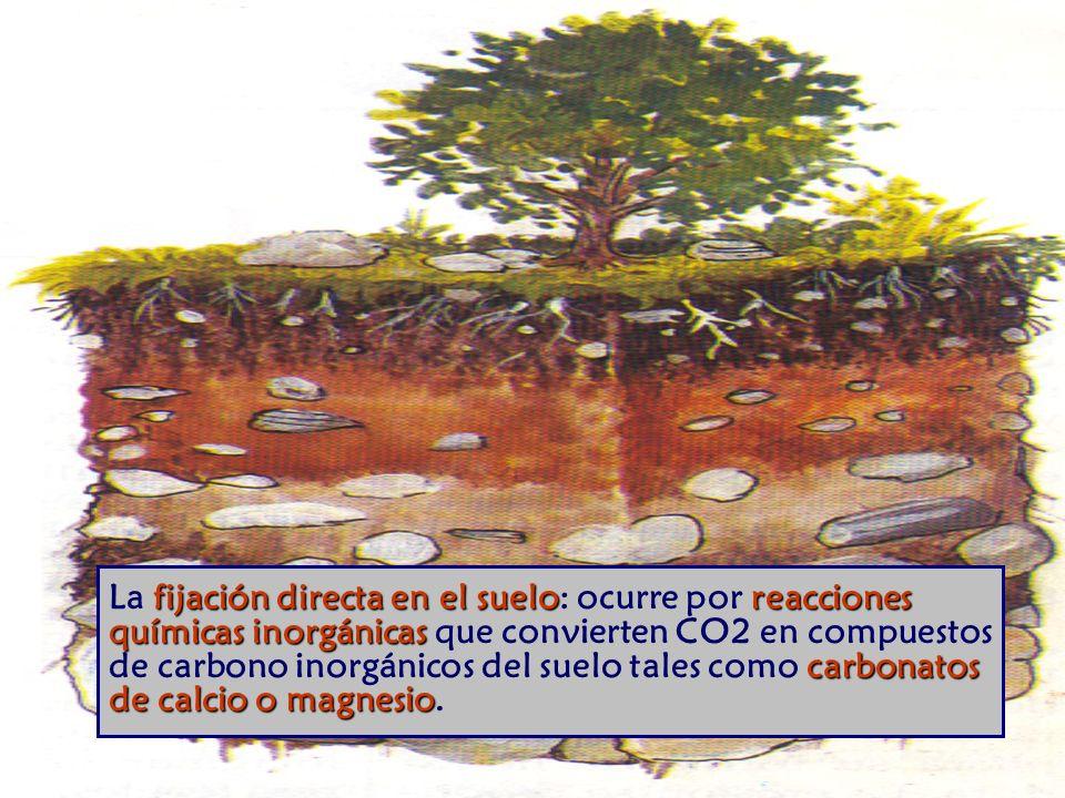 La fijación directa en el suelo: ocurre por reacciones químicas inorgánicas que convierten CO2 en compuestos de carbono inorgánicos del suelo tales como carbonatos de calcio o magnesio.