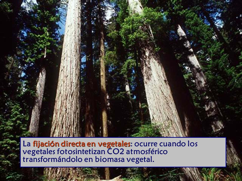 La fijación directa en vegetales: ocurre cuando los vegetales fotosintetizan CO2 atmosférico transformándolo en biomasa vegetal.