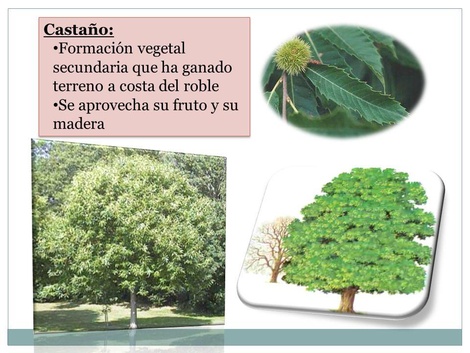 Castaño: Formación vegetal secundaria que ha ganado terreno a costa del roble.
