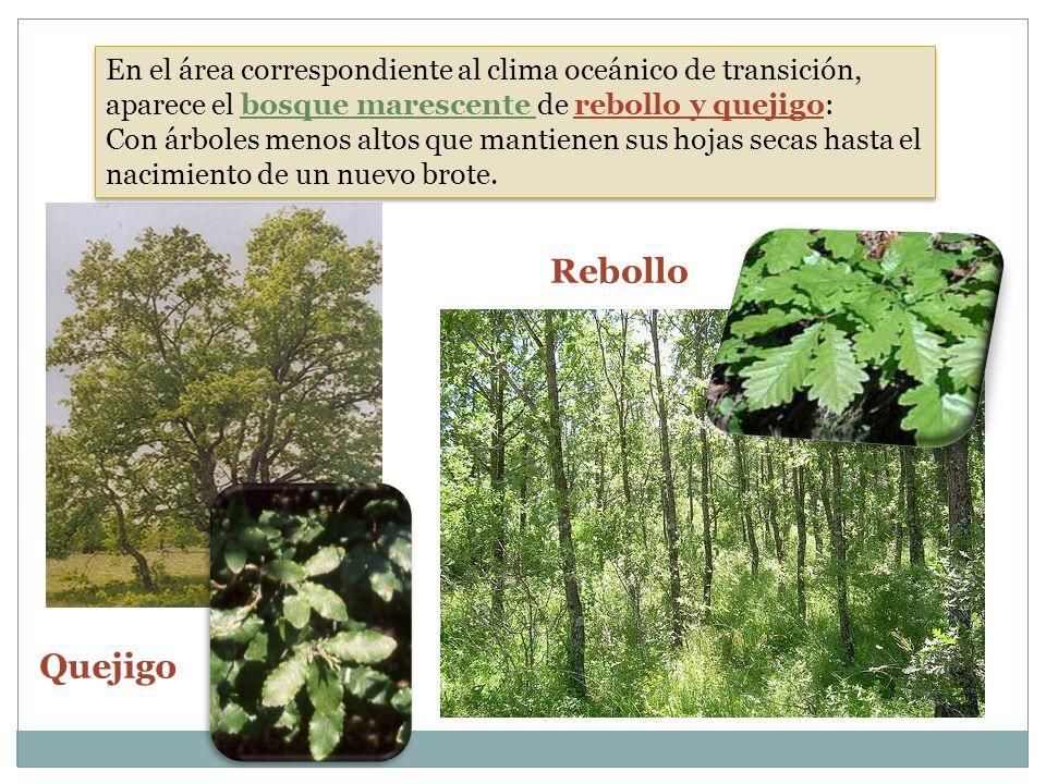 En el área correspondiente al clima oceánico de transición, aparece el bosque marescente de rebollo y quejigo: