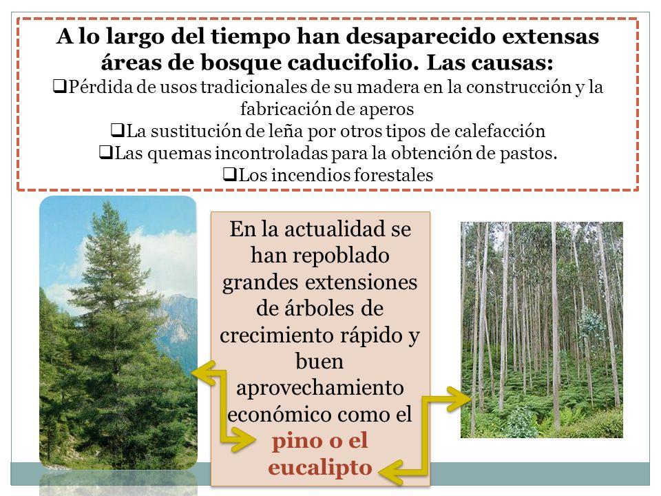 A lo largo del tiempo han desaparecido extensas áreas de bosque caducifolio. Las causas:
