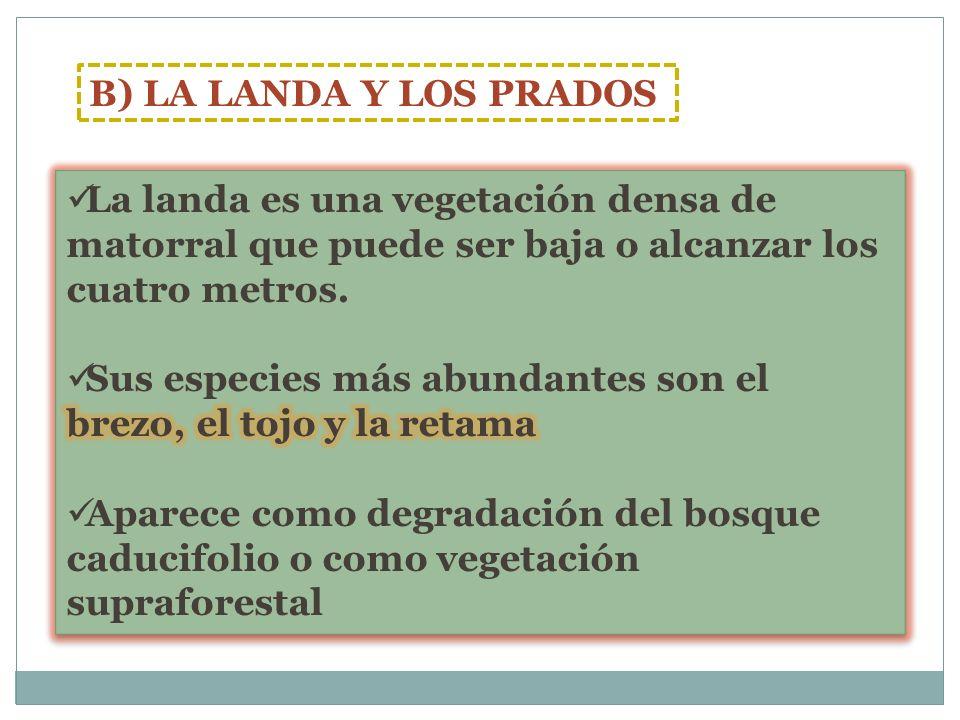 B) LA LANDA Y LOS PRADOS La landa es una vegetación densa de matorral que puede ser baja o alcanzar los cuatro metros.