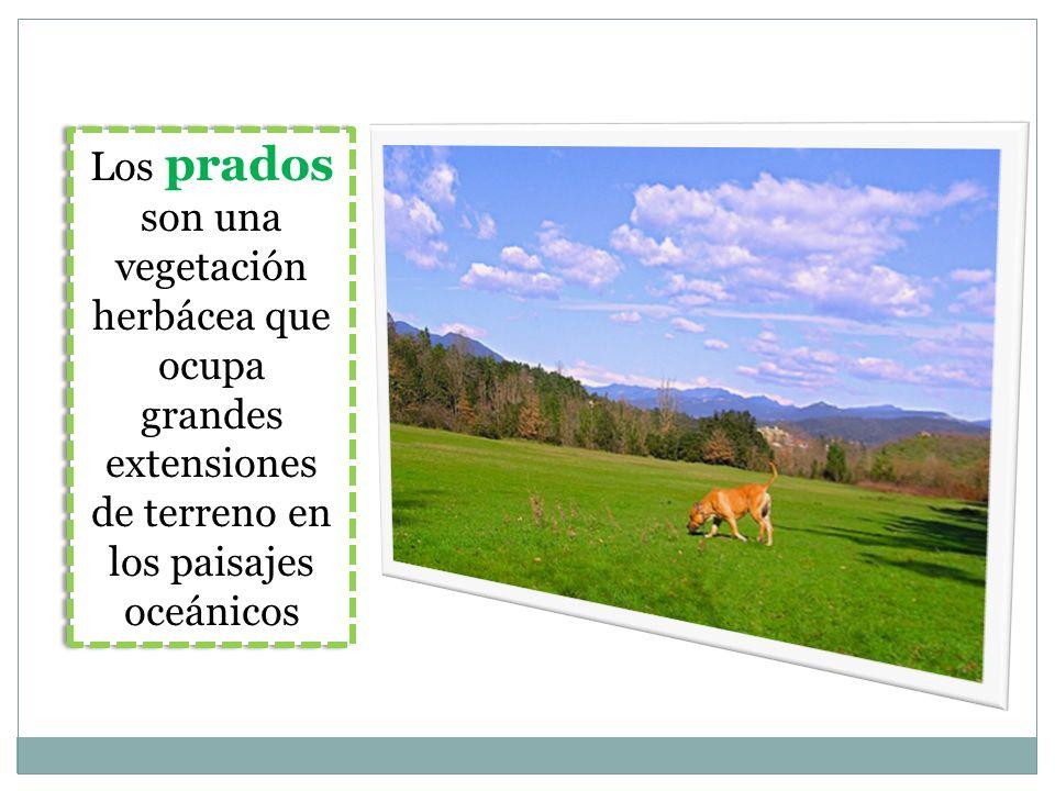 Los prados son una vegetación herbácea que ocupa grandes extensiones de terreno en los paisajes oceánicos