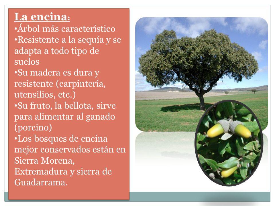 La encina: Árbol más característico