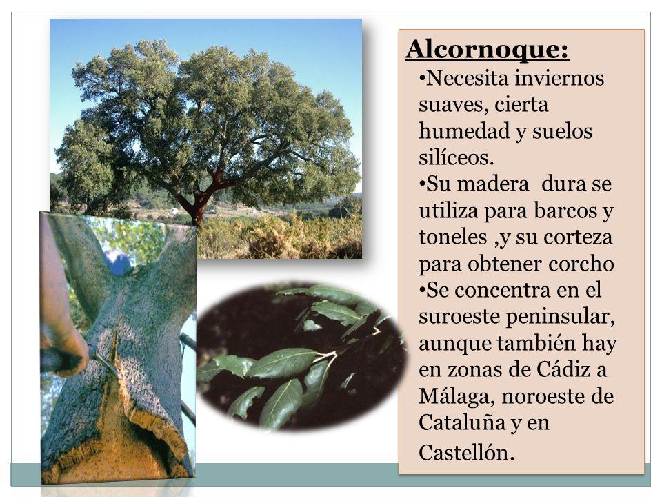 Alcornoque: Necesita inviernos suaves, cierta humedad y suelos silíceos.