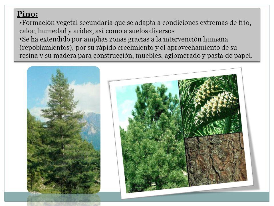 Pino: Formación vegetal secundaria que se adapta a condiciones extremas de frío, calor, humedad y aridez, así como a suelos diversos.