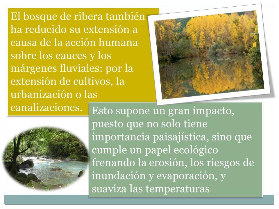 El bosque de ribera también ha reducido su extensión a causa de la acción humana sobre los cauces y los márgenes fluviales: por la extensión de cultivos, la urbanización o las canalizaciones.