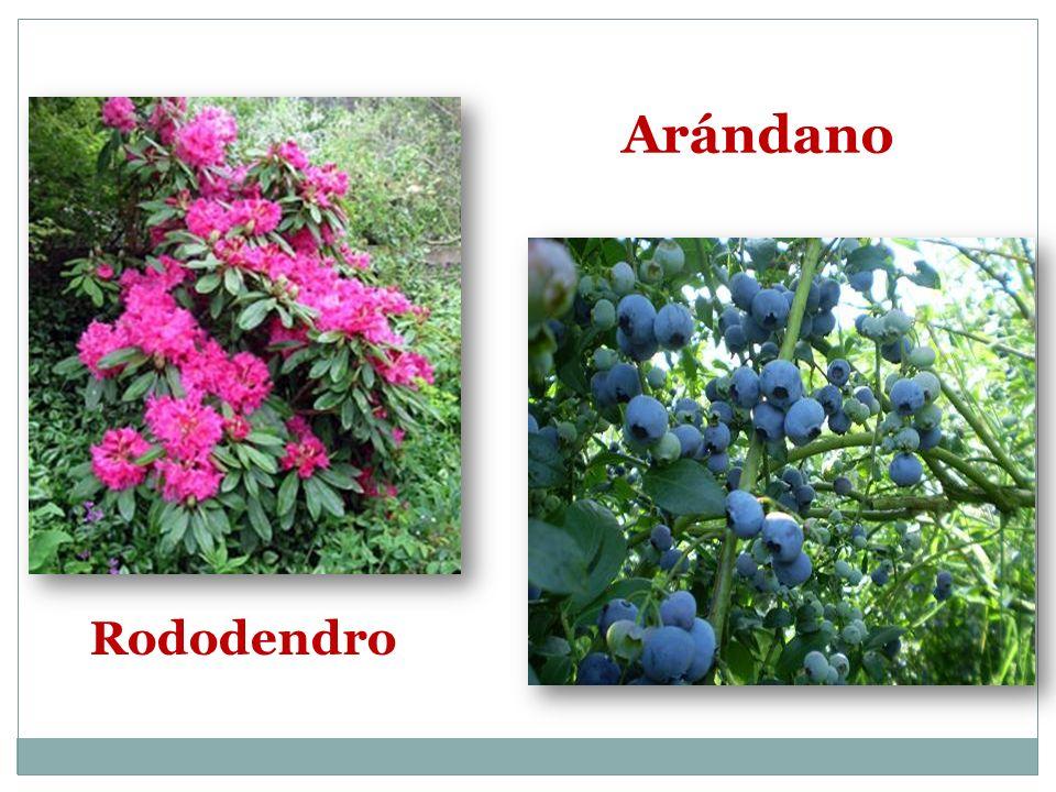 Arándano Rododendro