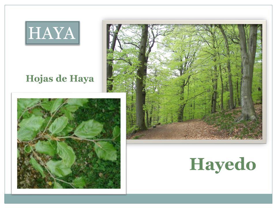 HAYA Hojas de Haya Hayedo