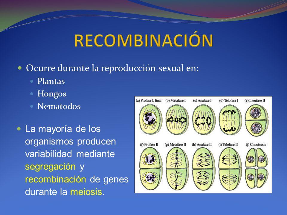 RECOMBINACIÓN Ocurre durante la reproducción sexual en: