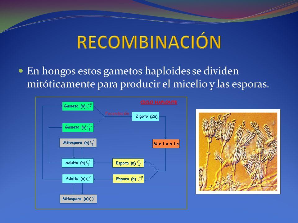 RECOMBINACIÓN En hongos estos gametos haploides se dividen mitóticamente para producir el micelio y las esporas.