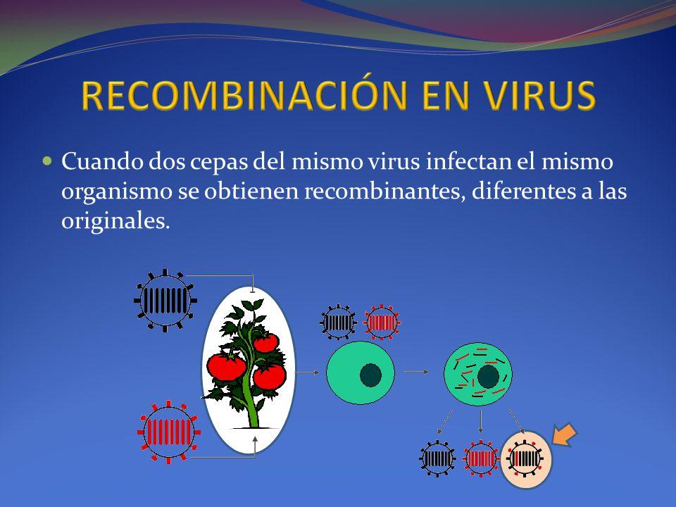 RECOMBINACIÓN EN VIRUS