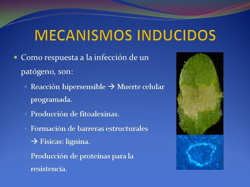 MECANISMOS INDUCIDOS Como respuesta a la infección de un patógeno, son: Reacción hipersensible  Muerte celular programada.