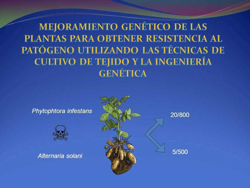 MEJORAMIENTO GENÉTICO DE LAS PLANTAS PARA OBTENER RESISTENCIA AL PATÓGENO UTILIZANDO LAS TÉCNICAS DE CULTIVO DE TEJIDO Y LA INGENIERÍA GENÉTICA