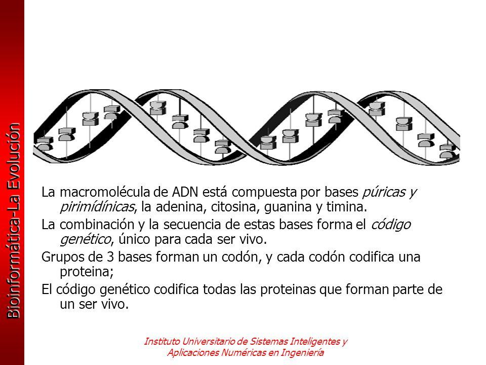 Grupos de 3 bases forman un codón, y cada codón codifica una proteina;