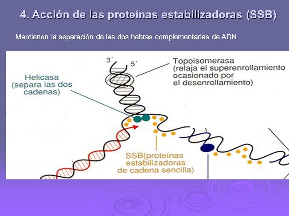 4. Acción de las proteínas estabilizadoras (SSB)