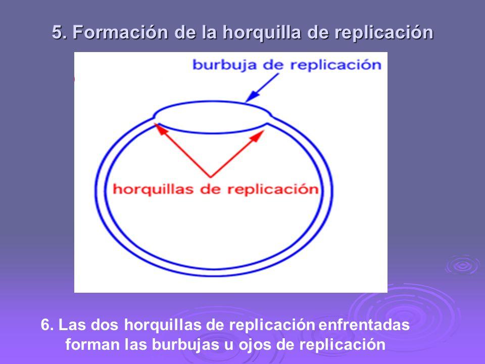5. Formación de la horquilla de replicación