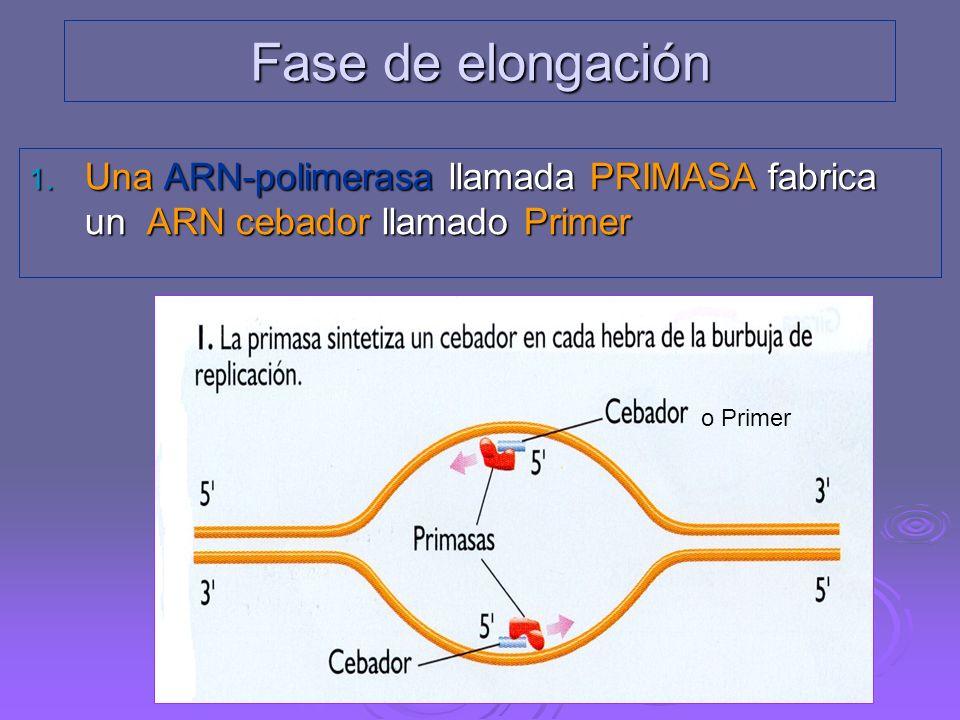 Fase de elongación Una ARN-polimerasa llamada PRIMASA fabrica un ARN cebador llamado Primer. o Primer.