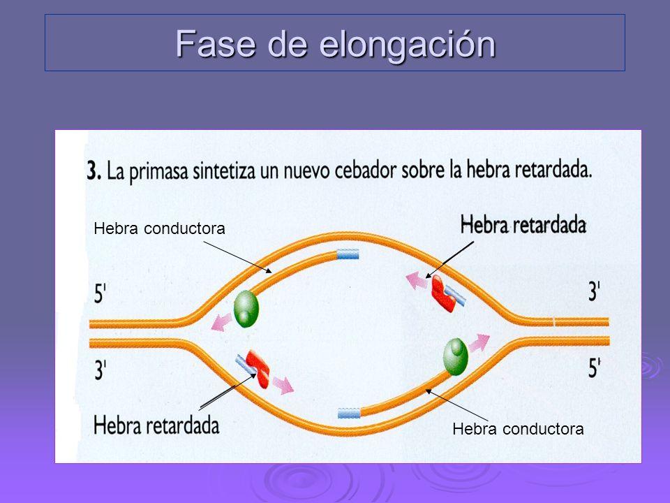 Fase de elongación Hebra conductora Hebra conductora