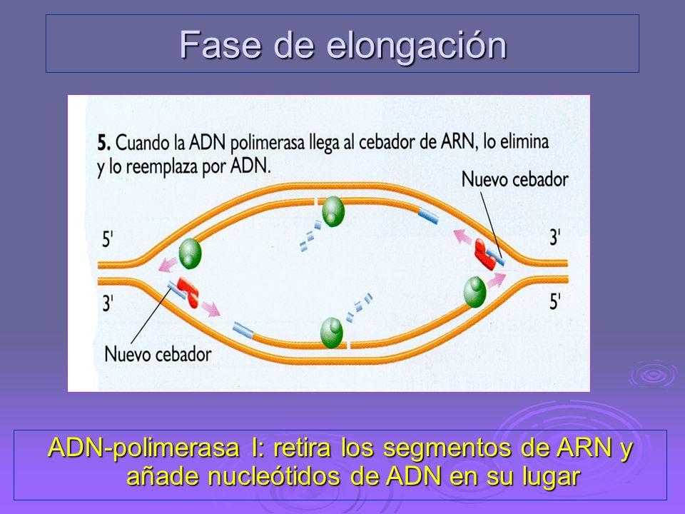 Fase de elongación ADN-polimerasa I: retira los segmentos de ARN y añade nucleótidos de ADN en su lugar.