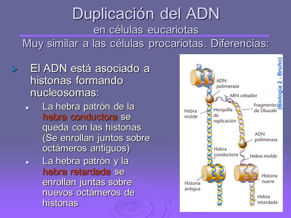 Duplicación del ADN en células eucariotas Muy similar a las células procariotas. Diferencias: