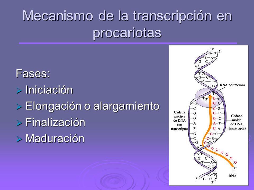 Mecanismo de la transcripción en procariotas