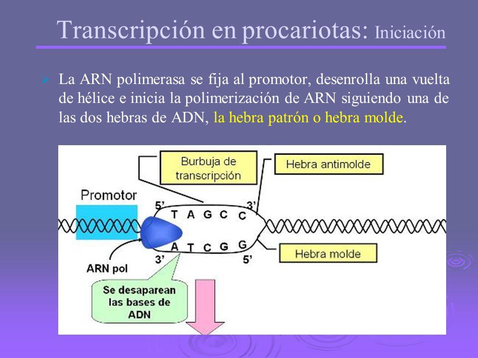 Transcripción en procariotas: Iniciación