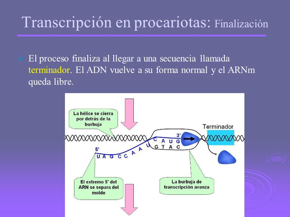 Transcripción en procariotas: Finalización
