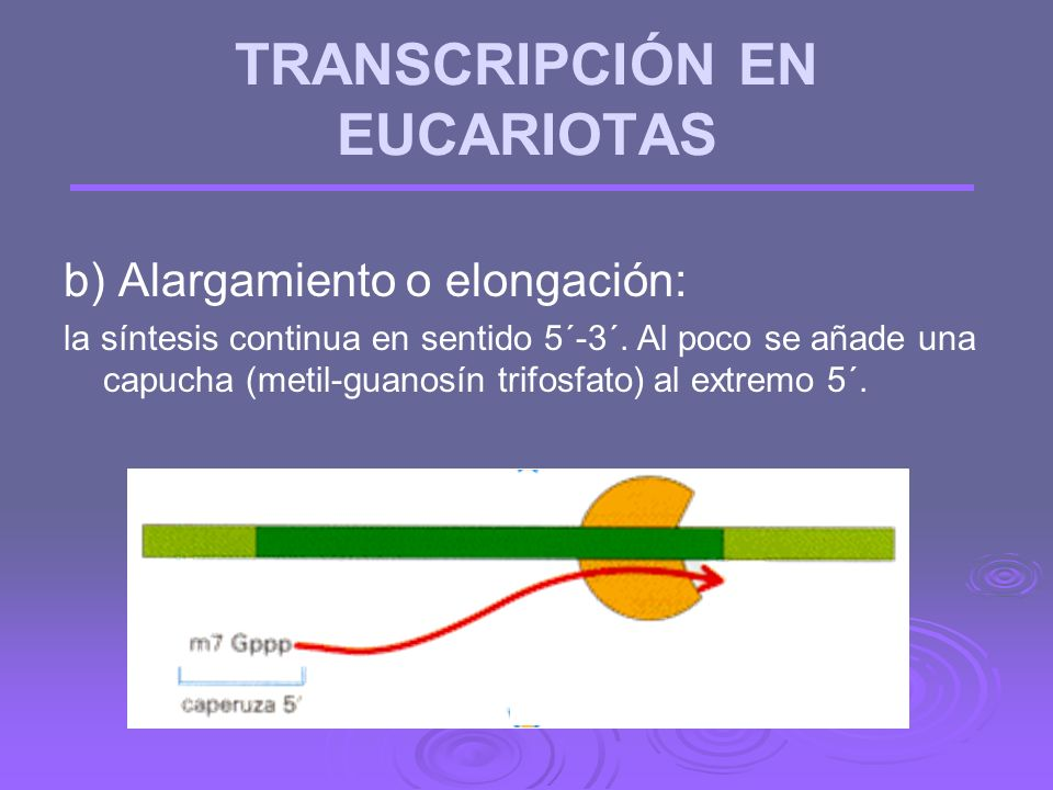 TRANSCRIPCIÓN EN EUCARIOTAS