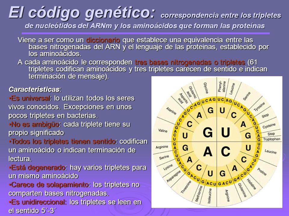 El código genético: correspondencia entre los tripletes de nucleótidos del ARNm y los aminoácidos que forman las proteínas