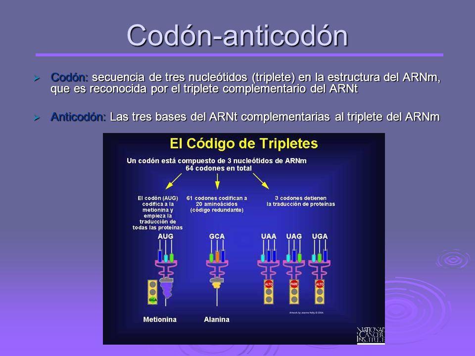 Codón-anticodón Codón: secuencia de tres nucleótidos (triplete) en la estructura del ARNm, que es reconocida por el triplete complementario del ARNt.