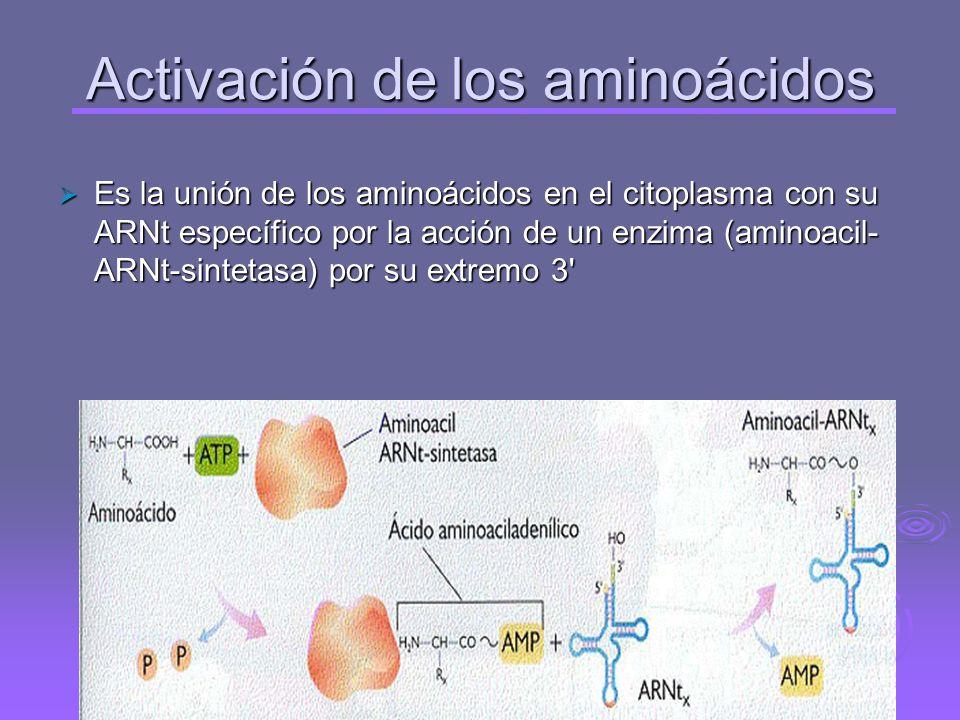 Activación de los aminoácidos