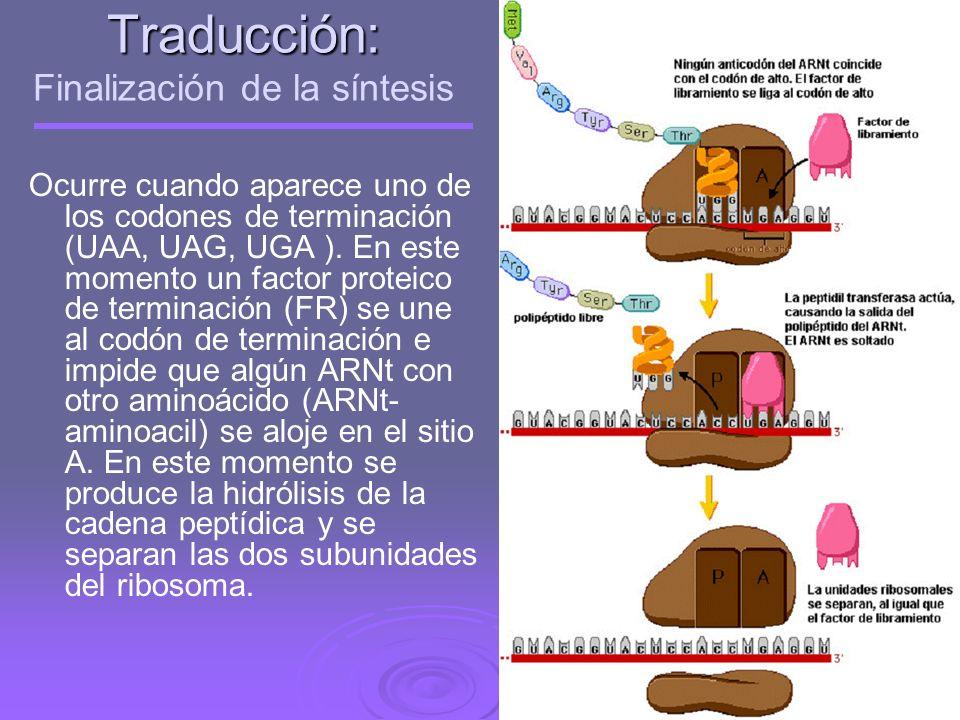 Traducción: Finalización de la síntesis