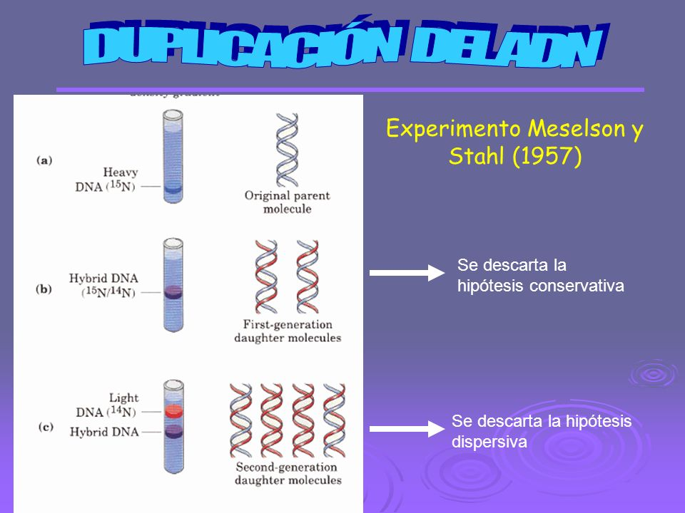 Experimento Meselson y Stahl (1957)