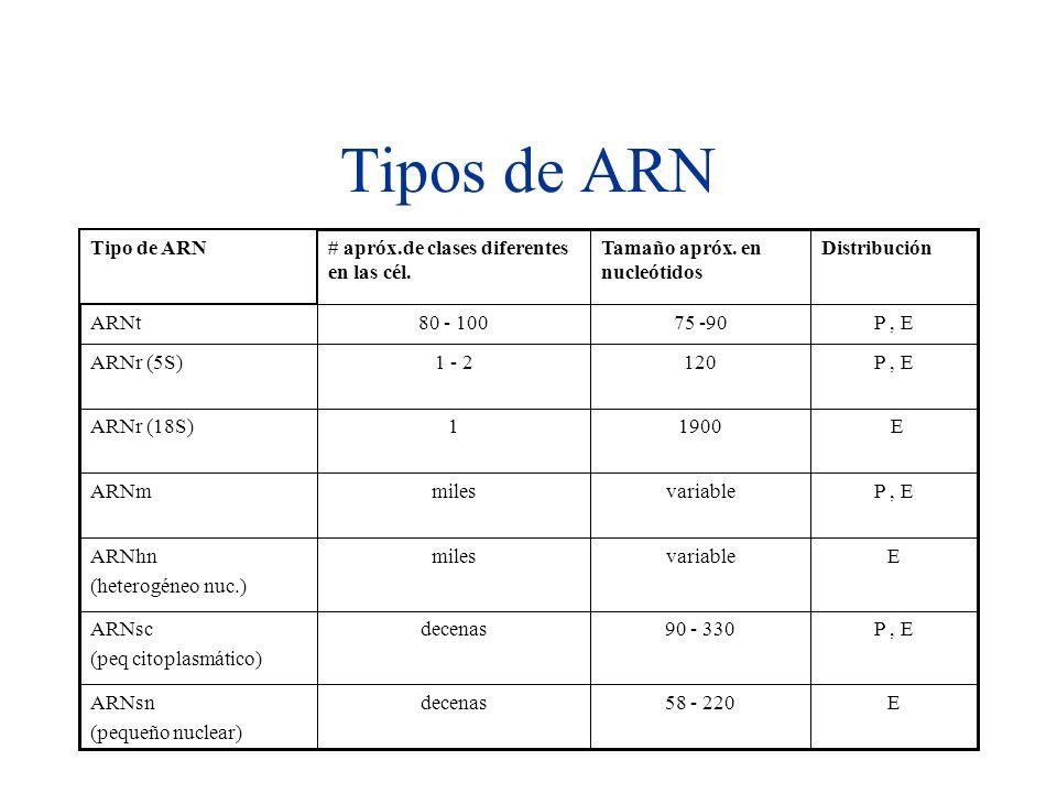 Tipos de ARN E 58 - 220 decenas ARNsn (pequeño nuclear) P , E 90 - 330