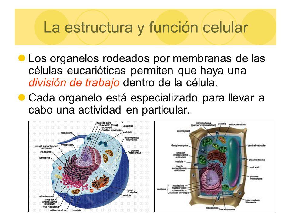 La estructura y función celular
