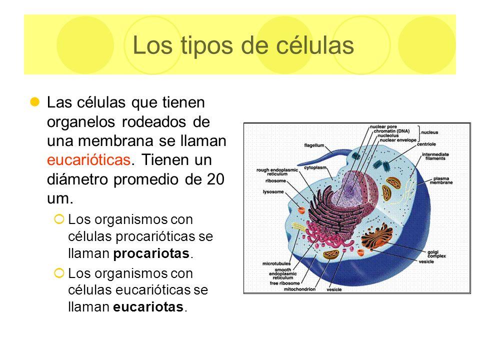 Los tipos de células Las células que tienen organelos rodeados de una membrana se llaman eucarióticas. Tienen un diámetro promedio de 20 um.