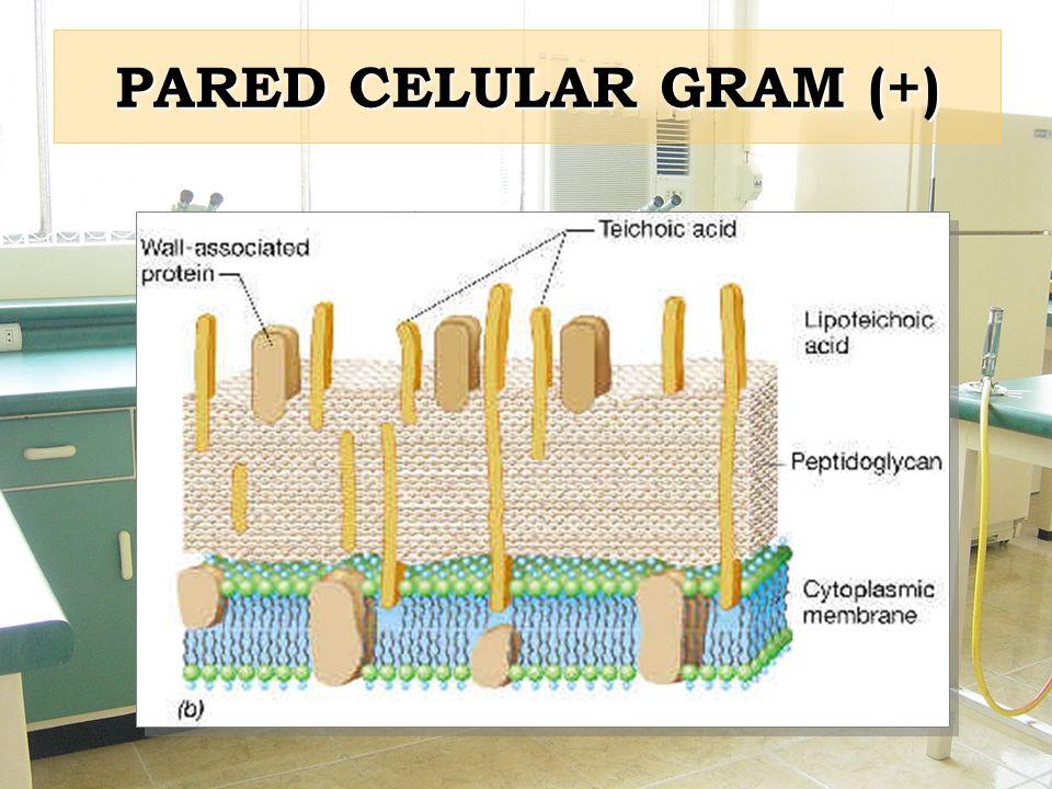 PARED CELULAR GRAM (+)