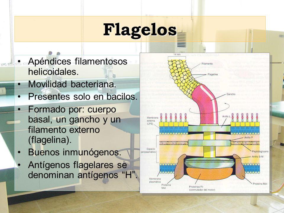 Flagelos Apéndices filamentosos helicoidales. Movilidad bacteriana.