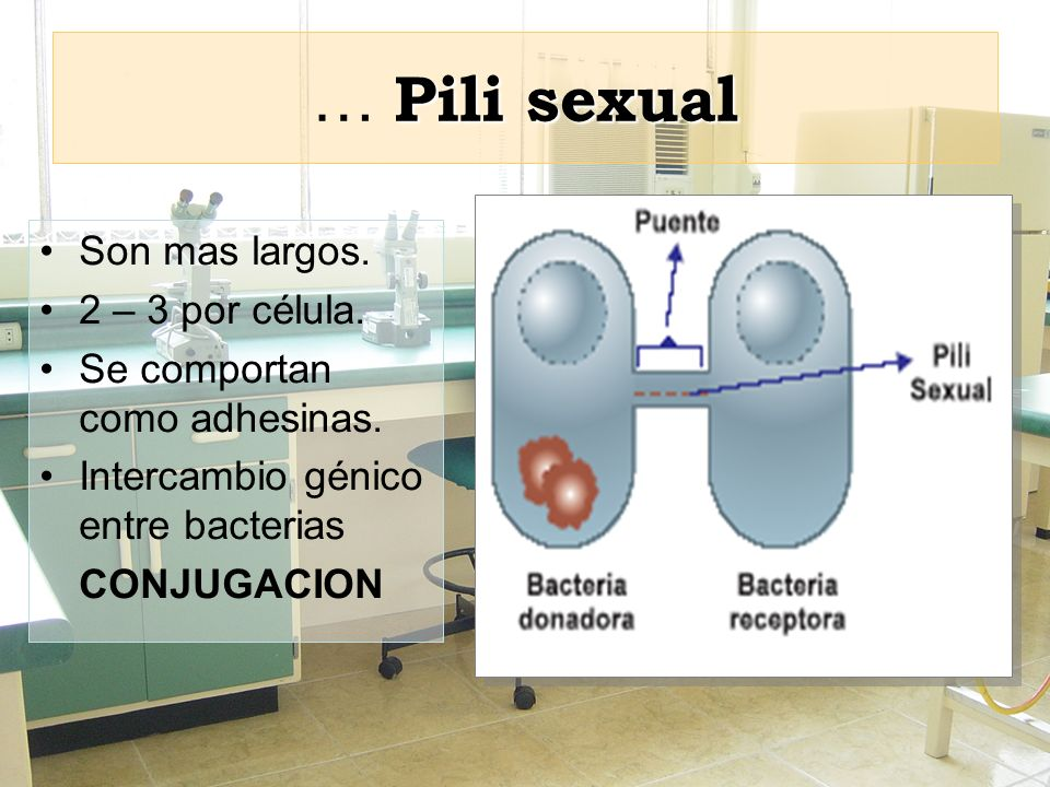 … Pili sexual Son mas largos. 2 – 3 por célula.