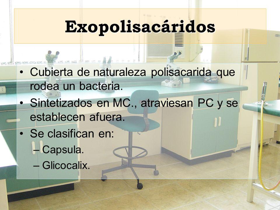 Exopolisacáridos Cubierta de naturaleza polisacarida que rodea un bacteria. Sintetizados en MC., atraviesan PC y se establecen afuera.