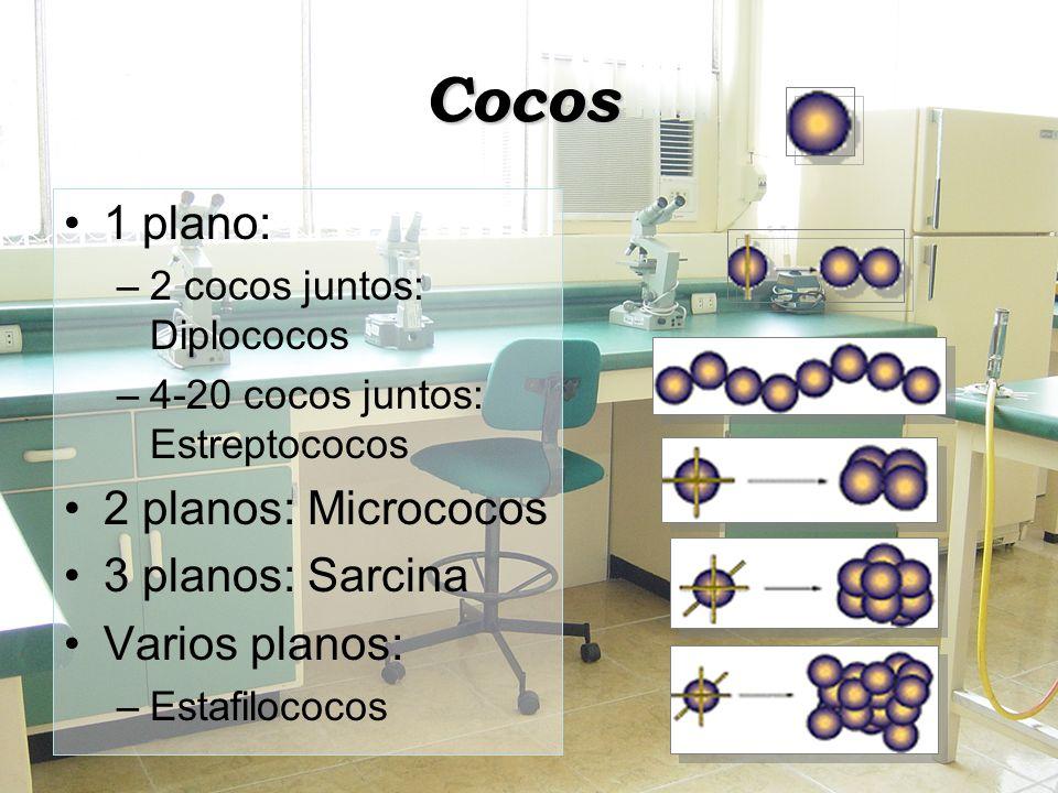 Cocos 1 plano: 2 planos: Micrococos 3 planos: Sarcina Varios planos: