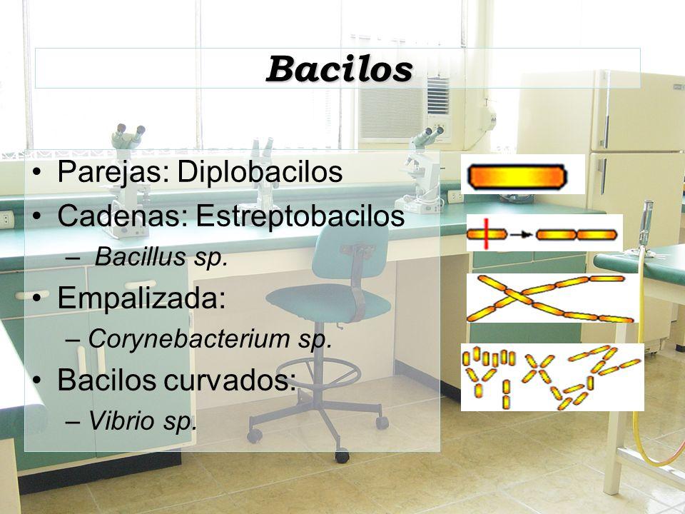 Bacilos Parejas: Diplobacilos Cadenas: Estreptobacilos Empalizada: