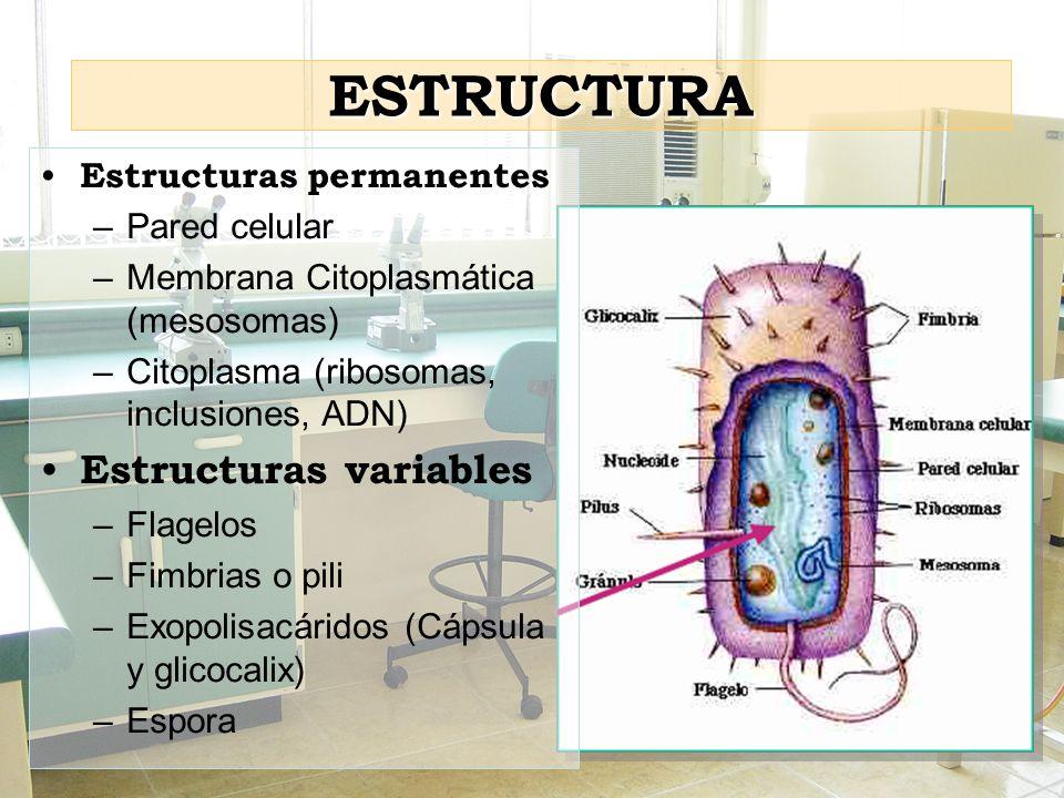 ESTRUCTURA Estructuras variables Estructuras permanentes Pared celular
