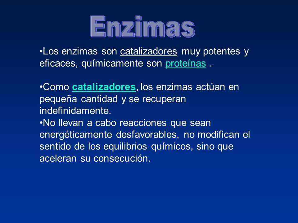 Enzimas Los enzimas son catalizadores muy potentes y eficaces, químicamente son proteínas .
