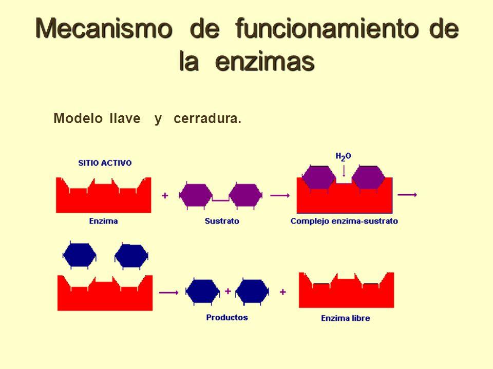 Mecanismo de funcionamiento de la enzimas