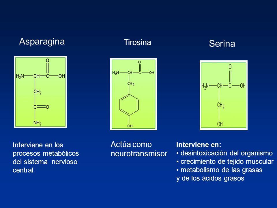 Asparagina Serina Tirosina Actúa como neurotransmisor