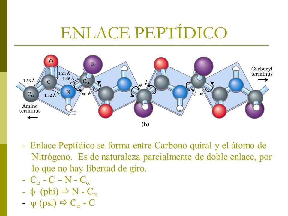 ENLACE PEPTÍDICO - Enlace Peptídico se forma entre Carbono quiral y el átomo de. Nitrógeno. Es de naturaleza parcialmente de doble enlace, por.