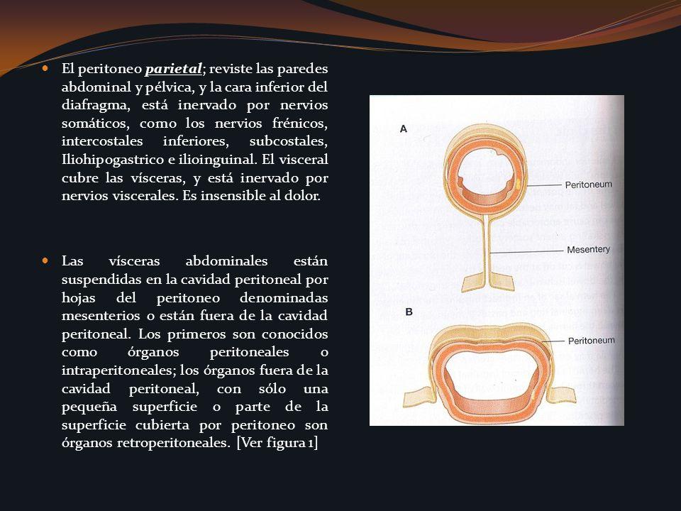 El peritoneo parietal; reviste las paredes abdominal y pélvica, y la cara inferior del diafragma, está inervado por nervios somáticos, como los nervios frénicos, intercostales inferiores, subcostales, Iliohipogastrico e ilioinguinal. El visceral cubre las vísceras, y está inervado por nervios viscerales. Es insensible al dolor.